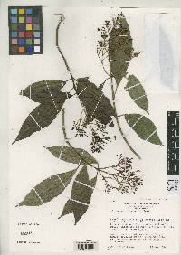 Palicourea purpurea image
