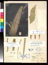 Disocactus amazonicus image