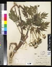 Myrrhidendron maxonii image