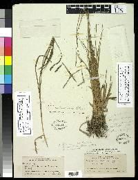 Image of Paspalum subciliatum