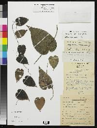 Dioscorea racemosa image