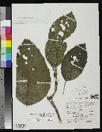 Dendropanax sessiliflorus image