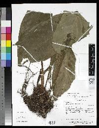 Paradrymonia flava image