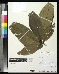 Rudgea hemisphaerica image