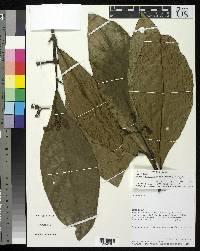 Rudgea sanblasensis image