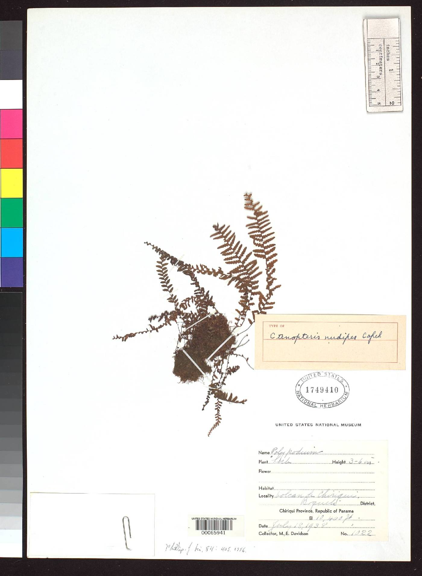 Galactodenia subscabra image