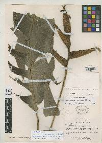 Heliconia irrasa image