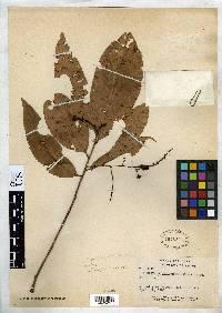 Ouratea patelliformis image