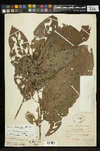 Quararibea gomeziana image