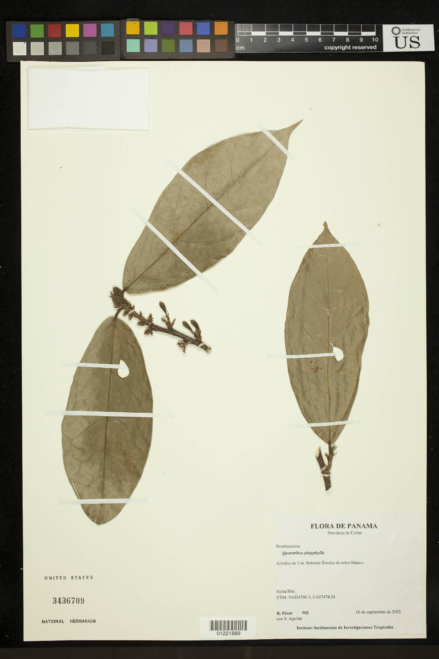 Quararibea platyphylla image