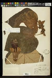Ochroma pyramidale image