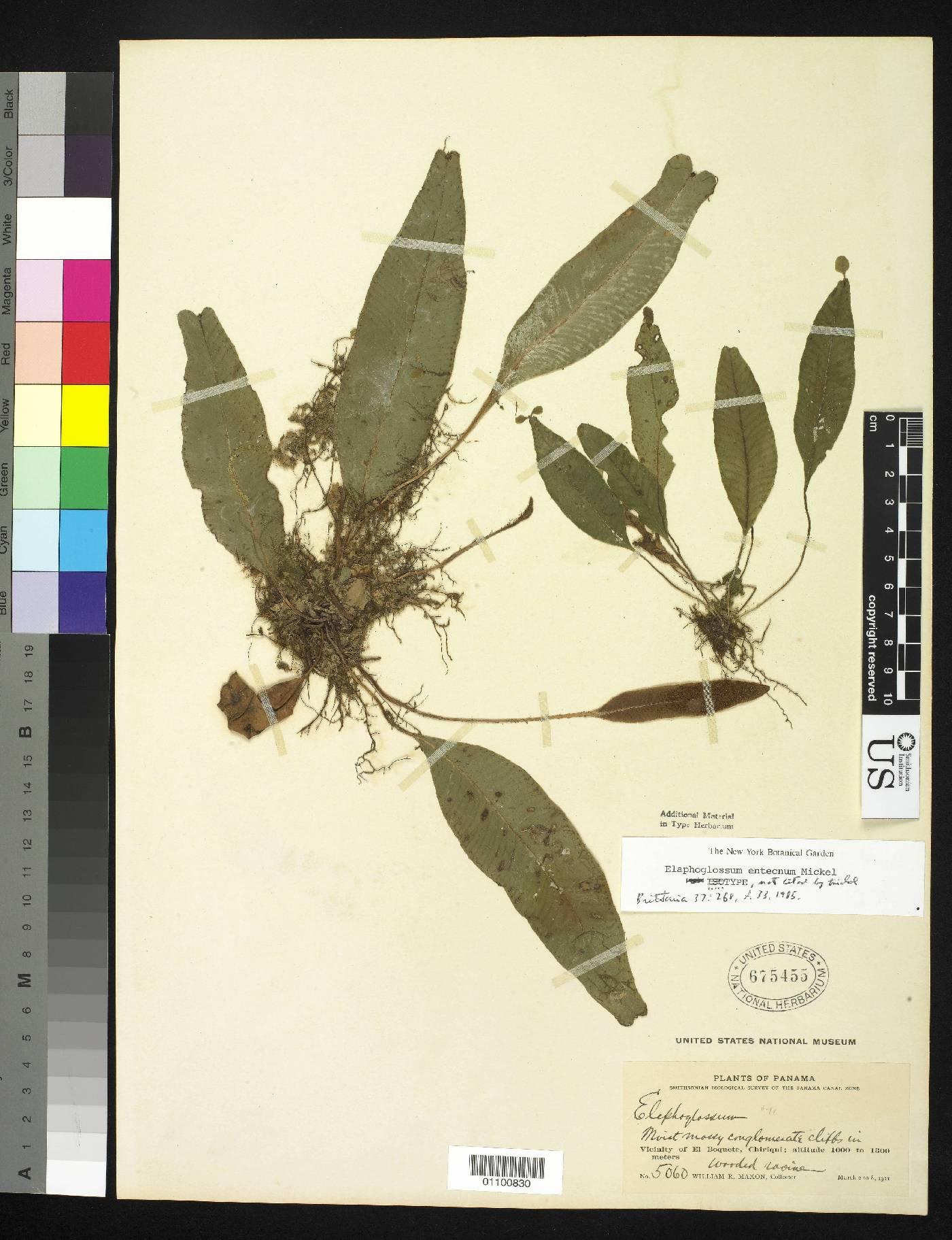 Elaphoglossum entecnum image
