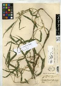 Lasiacis standleyi image