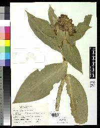 Costus glaucus image