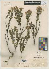 Image of Ageratina chiriquensis