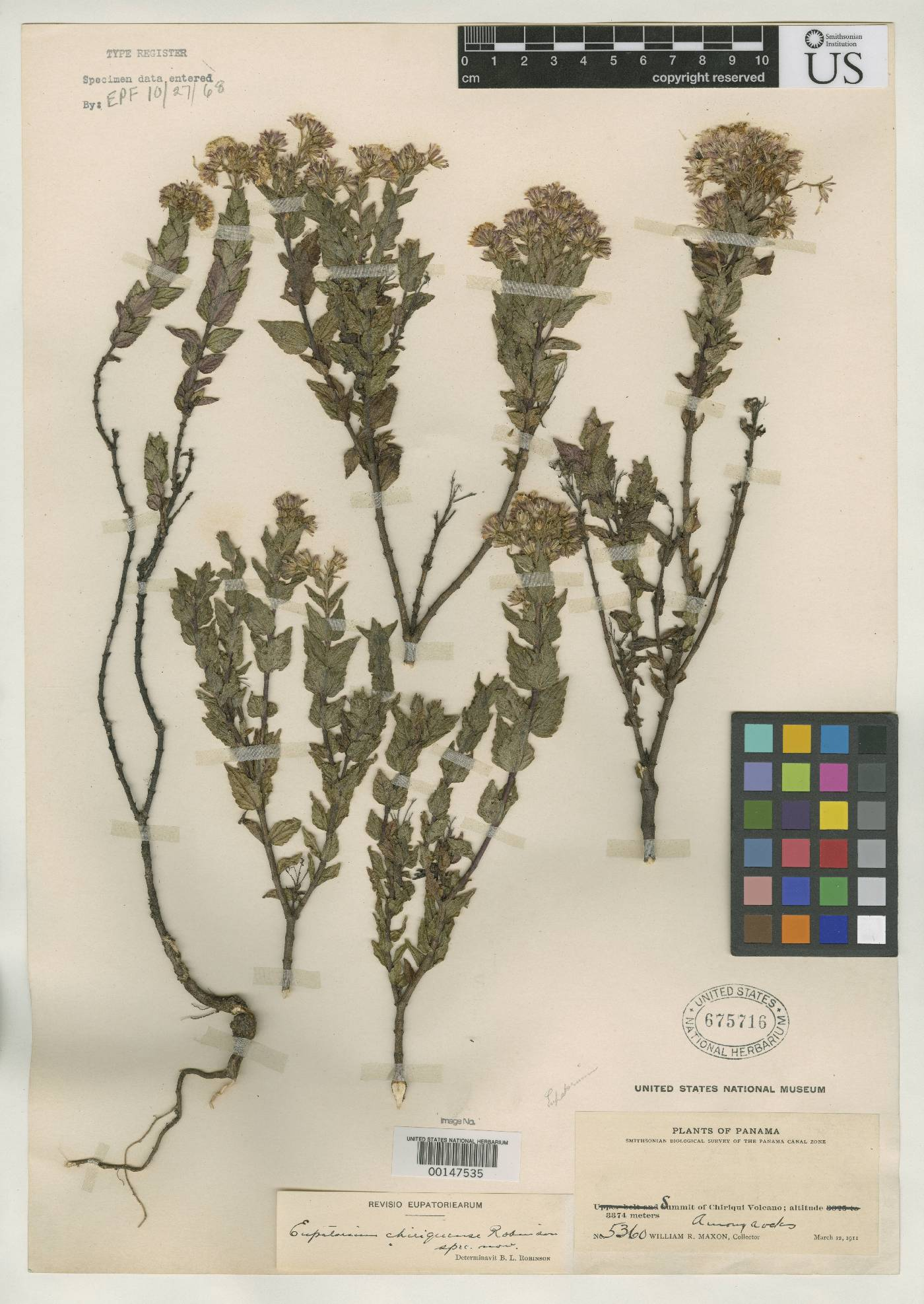 Ageratina chiriquensis image