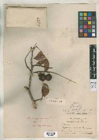 Copaifera panamensis image