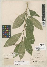 Cestrum chiriquianum image
