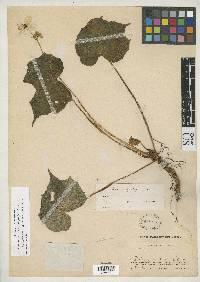 Image of Begonia brevicyma