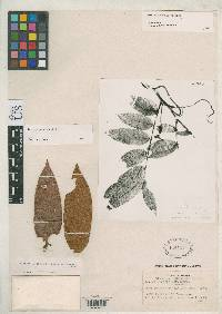 Inga cocleensis image
