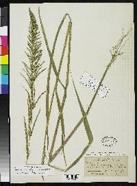 Ceradenia podocarpa image
