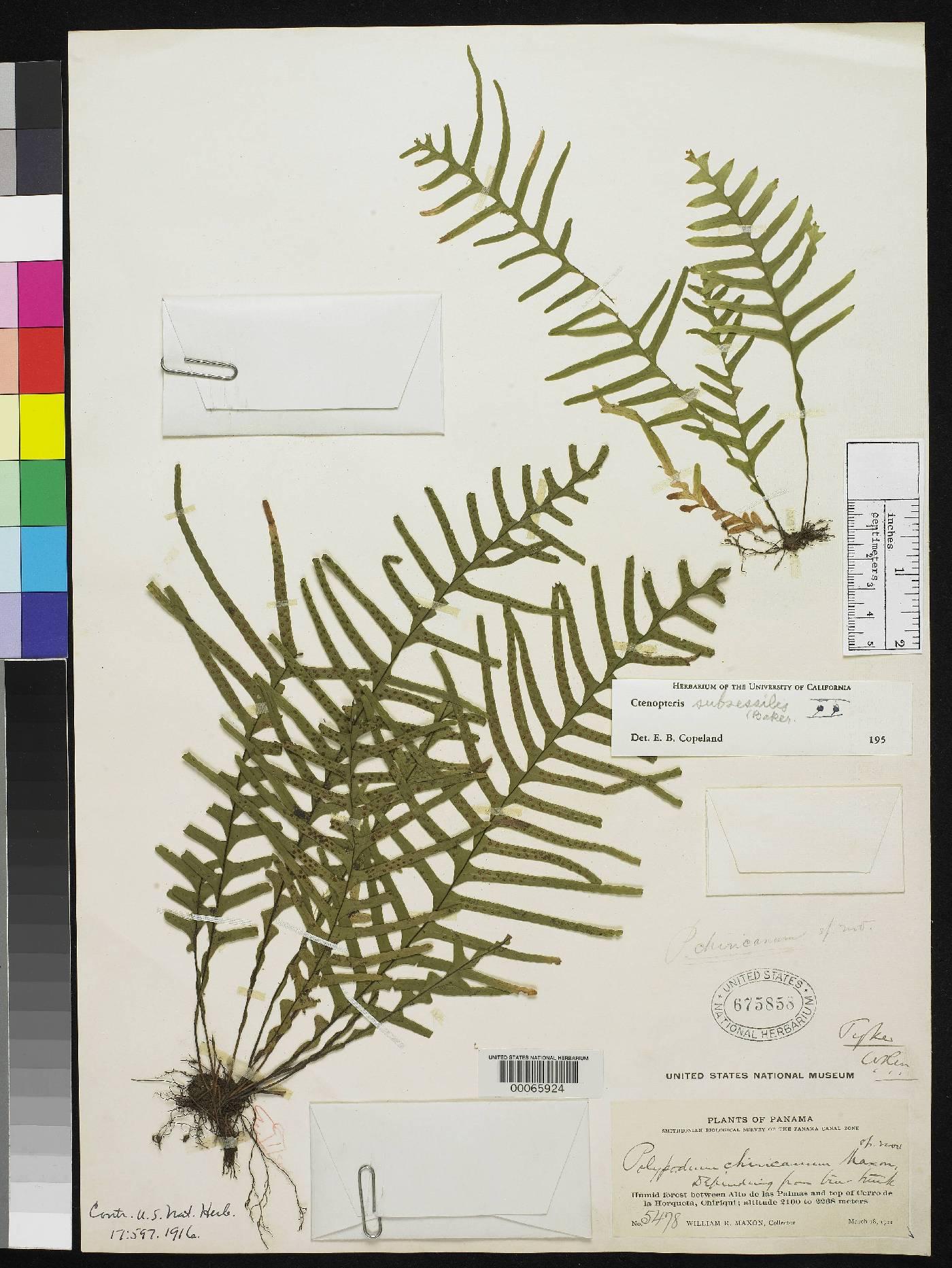 Polypodium chiricanum image