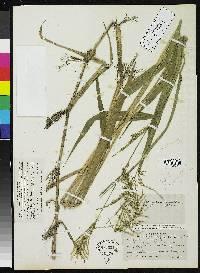 Panicum milleflorum image
