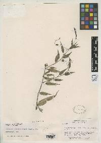 Image of Centropogon leucocarpus
