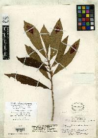 Columnea consanguinea image
