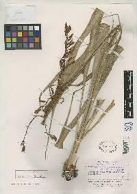 Pitcairnia chiriquensis image