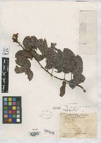 Bauhinia reflexa image
