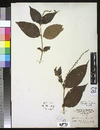 Gonzalagunia ovatifolia image