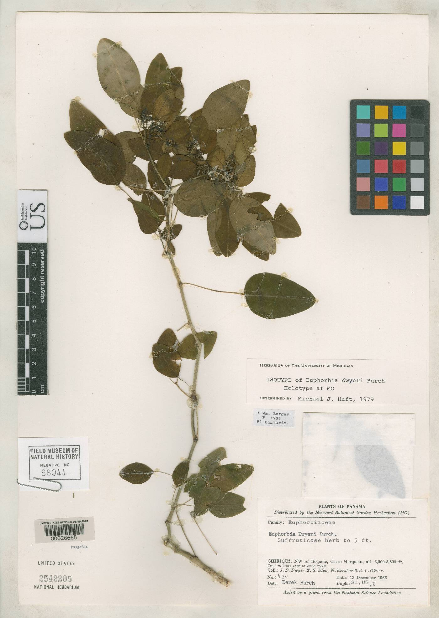 Euphorbia dwyeri image
