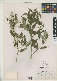 Psychotria goldmanii image