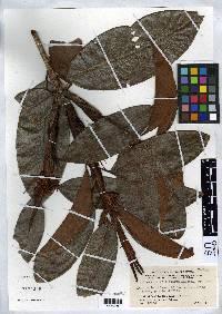 Erythroxylum macrophyllum image