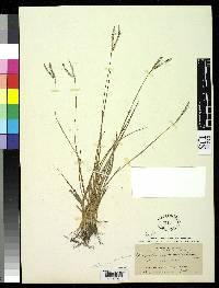 Paspalum subciliatum image