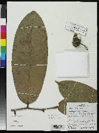 Eschweilera jacquelyniae image