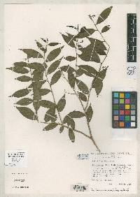 Sebastiania panamensis image