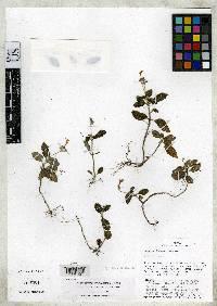 Cremosperma maculatum image