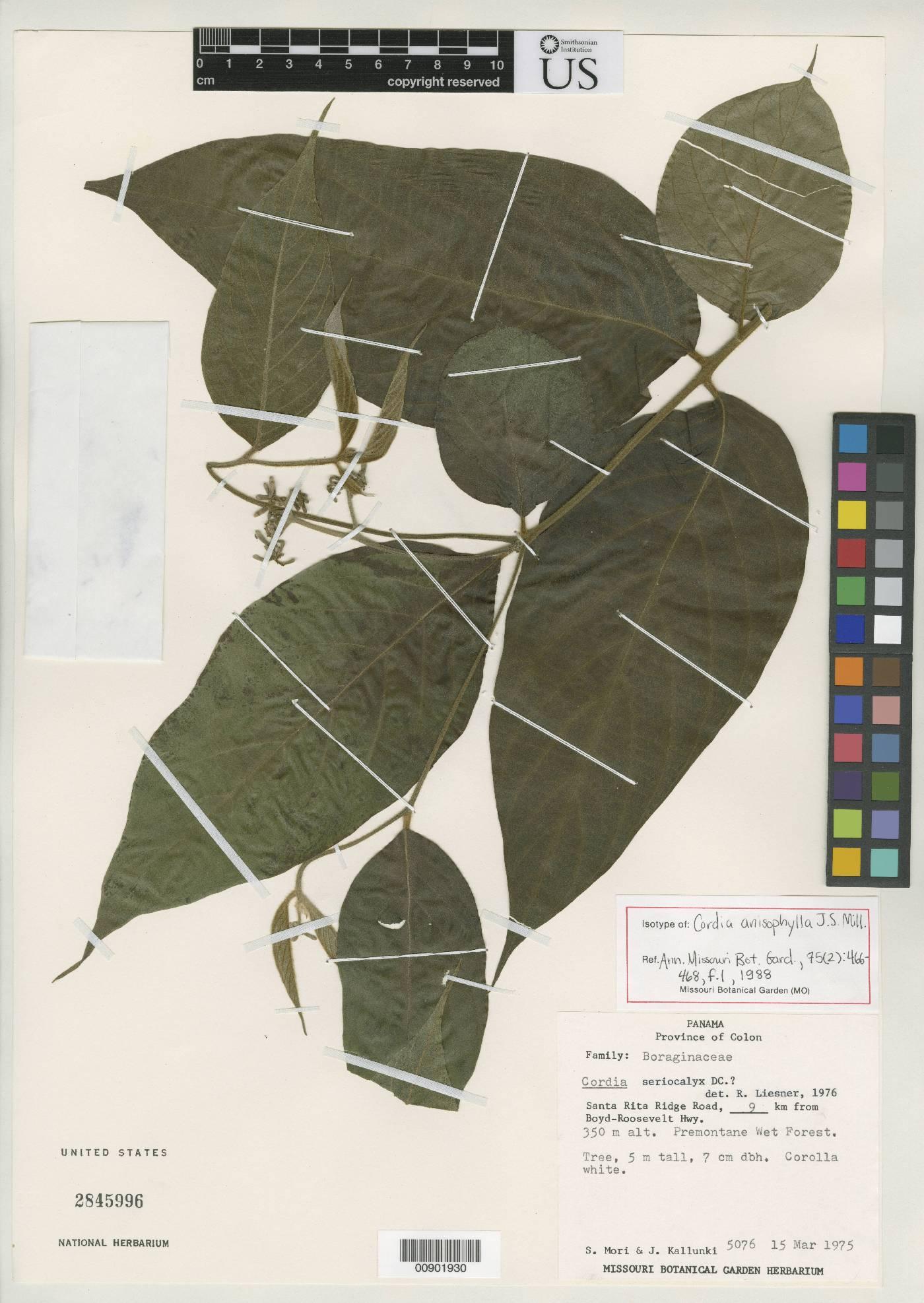 Cordia anisophylla image