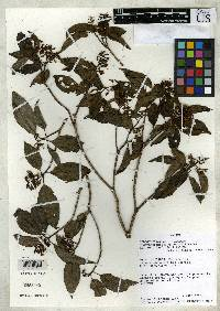 Tessmannianthus gordonii image