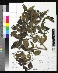 Conceveiba parvifolia image