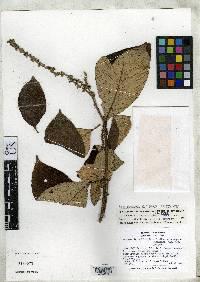 Arachnothryx buddleioides image