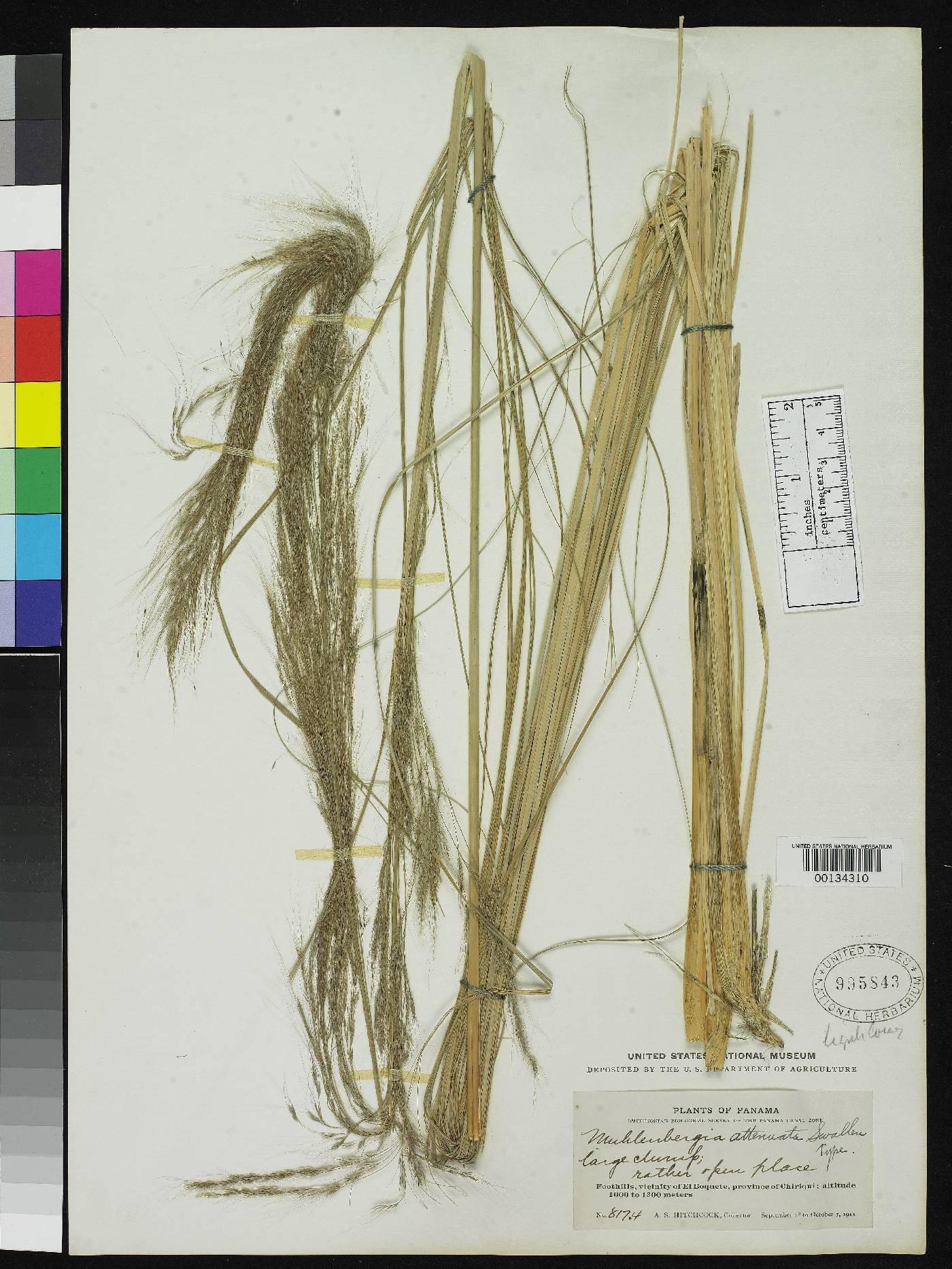Muhlenbergia lehmanniana image