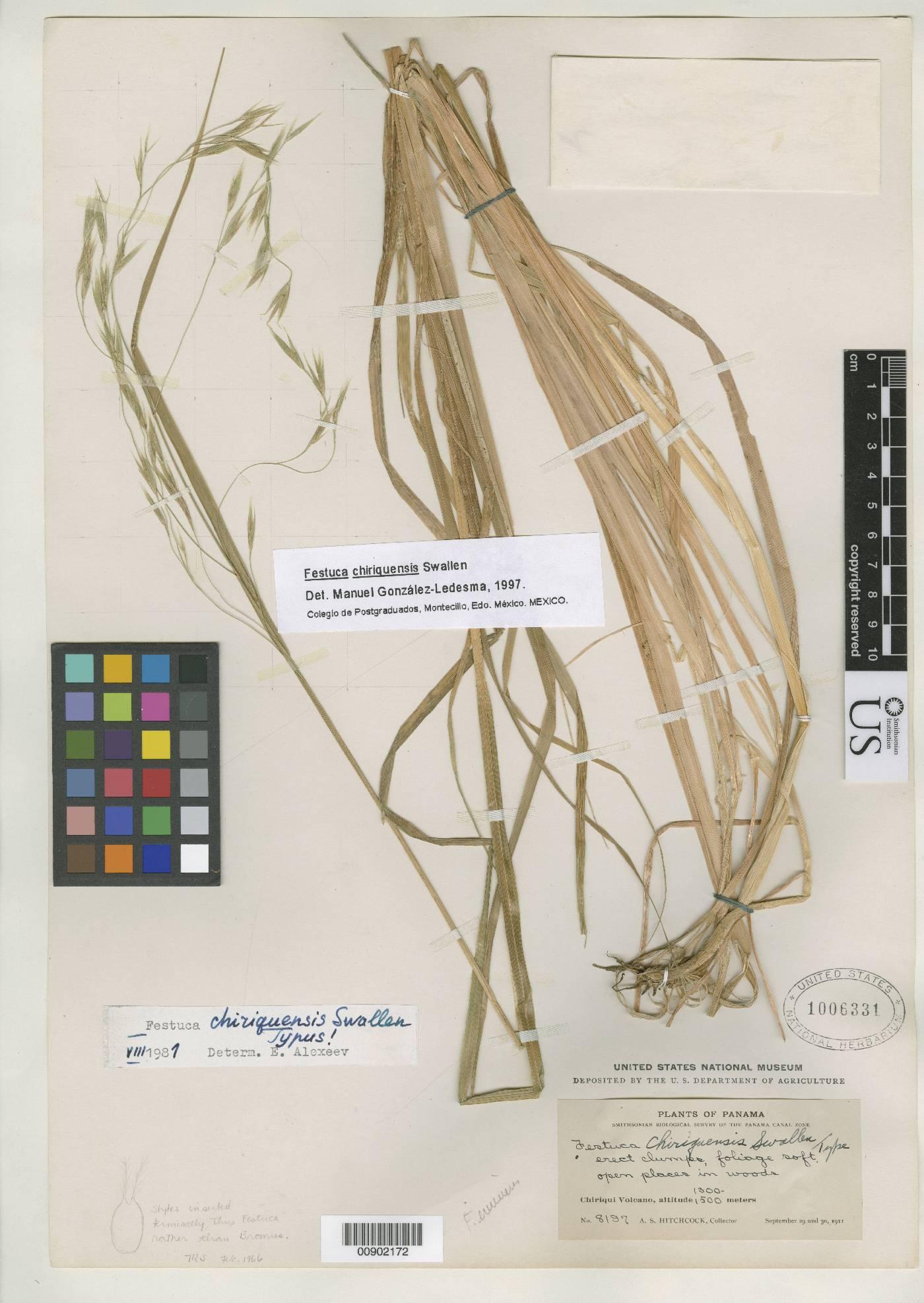 Festuca chiriquensis image