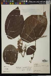 Tetrapterys hirsutula image