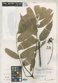 Brunellia darienensis image