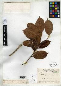 Eugenia salamancana image