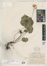Image of Begonia davidsoniae