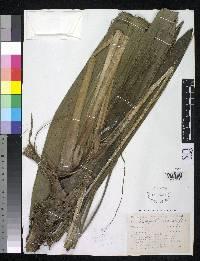 Image of Sphaeradenia davidsoniae